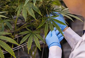 Cannabis Facilities